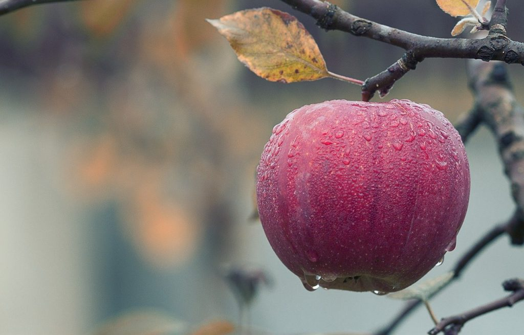 apple on the branch