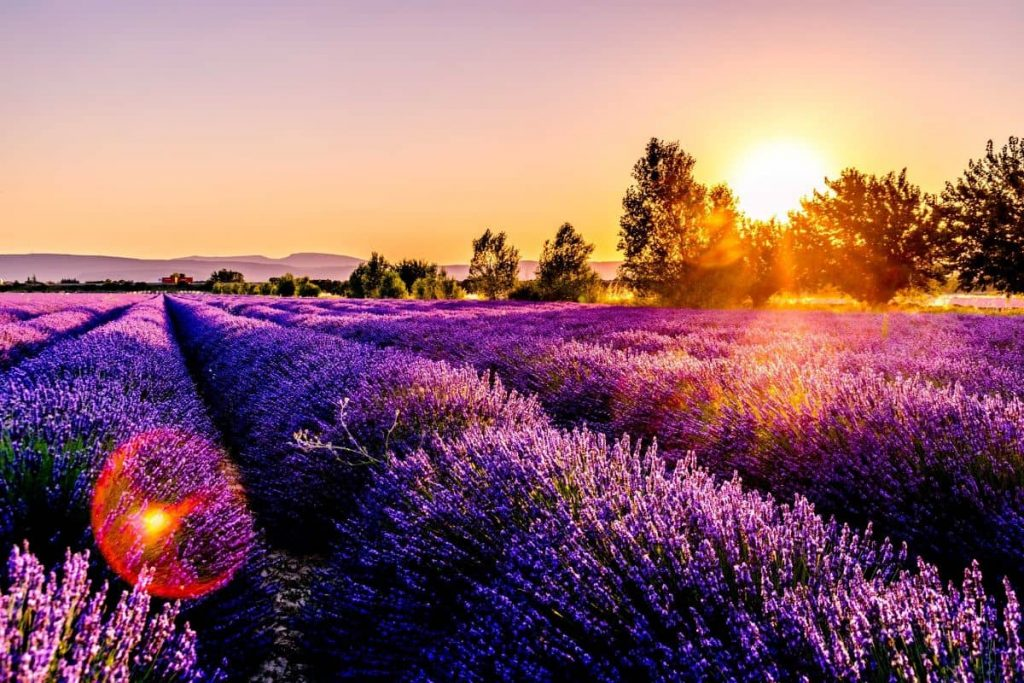 lavender fields - history of perfume